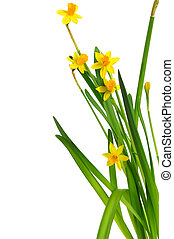 easter daffodil 4 - easter daffodils isolated in front of...