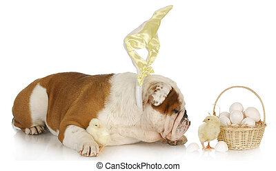 easter dog - english bulldog bunny with chicks and basket on...