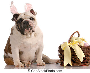 easter dog with basket - english bulldog wearing bunny...