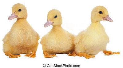 easter ducklings in a row isolated