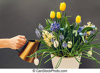Easter egg pot with spring flowers. Watering yellow tulips, hyacinths, blue muscari on grey background. Holiday decor