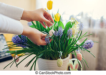 Easter home decor. Woman hangs eggs on spring blooming flowers in pot. Yellow hyacinths, tulips, muscari. Space