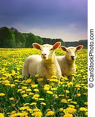Easter Lambs - Two lambs proudly posing