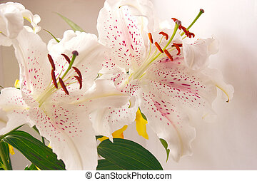 two beautiful white and pink lilies