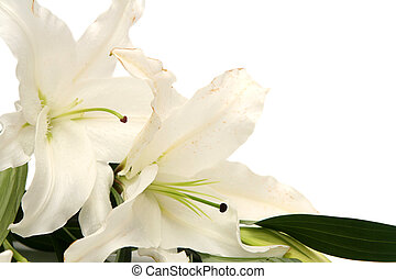 White easter lilies on a white background