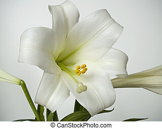 Easter Lilly Study - This is a very detailed closeup of an...