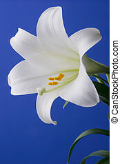 Easter Lily Closeup with blue background for easy isolation