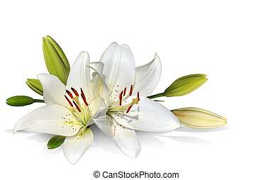 Freshly-bloomed white Easter Lilies and buds over a white background.