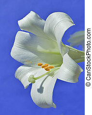 Easter lily - macro close up shot with shellow depth of...