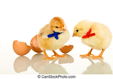 Easter party baby chickens with colorful scarves - isolated with reflection