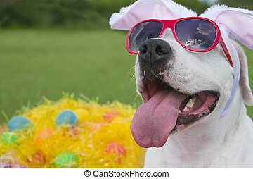 Easter Pooch - A dog wearing pink sunglasses with bunny ears...