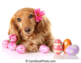 Easter puppy - Dachshund puppy dog with spring pink tulip...