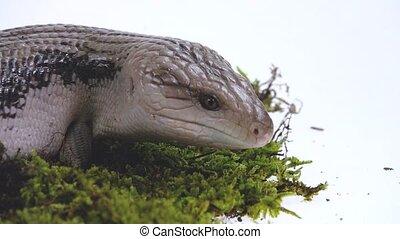 Eastern Blue Tongue Lizard - Tiliqua scincoides isolated on ...