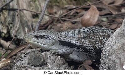 Eastern blue-tongued lizard (Tiliqua scincoides scincoides)...
