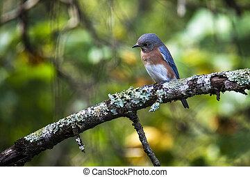 Eastern Bluebird Looking Intently