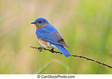 Male Eastern Bluebird (Sialia sialis) on a thorny branch