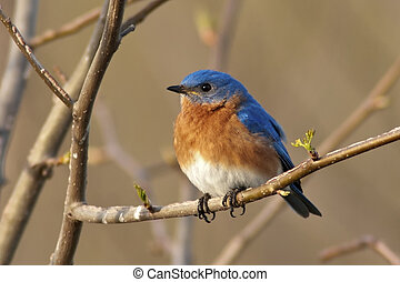 Portrait of a male Eastern Bluebird (Sialia sialis)