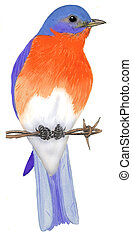 Eastern Bluebird - male - Sialia sialis