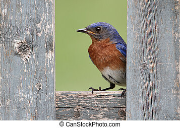 Eastern Bluebird On A Fence