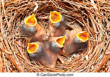Eastern Bluebird (Sialia sialis) nest with five babies approximately four days old