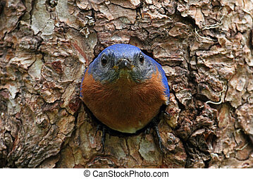 Eastern Bluebird (Sialia sialis) on a tree in a nest hole