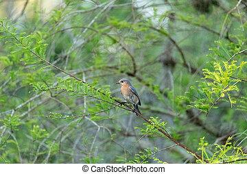 Eastern bluebird Sialia sialis on a tree in Naples, Florida.