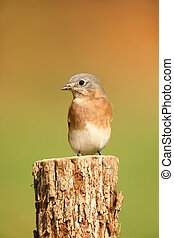 Eastern Bluebird (Sialia sialis) on a perch with a green background