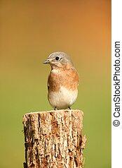 Eastern Bluebird with negative space - Eastern Bluebird (...