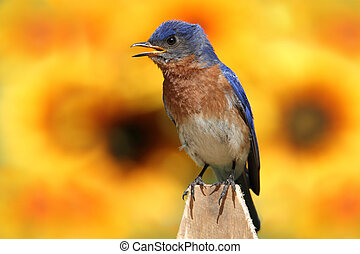 Eastern Bluebird With Sunflowers