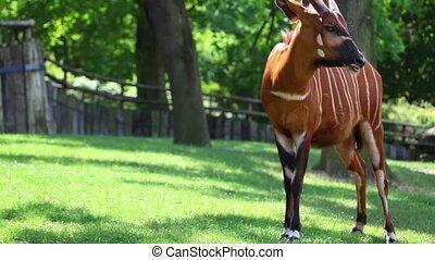 Eastern Bongo Antelope (Tragelaphus eurycerus) eatings green grass