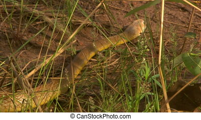 Eastern Brown Snake Moving Through Grass And Dirt - Handheld...