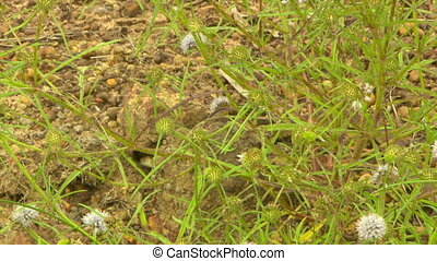 Eastern brown snake peeking out from its burrow - Looking...
