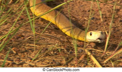 Eastern Brown Snake Slithering Away From Person - Handheld, ...