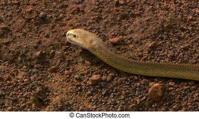 Eastern Brown Snake Slithering On Gravel - Handheld, close...