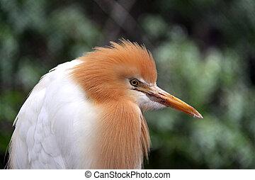 Eastern Cattle Egret in Breeding Season Plumage - ardea ibis...