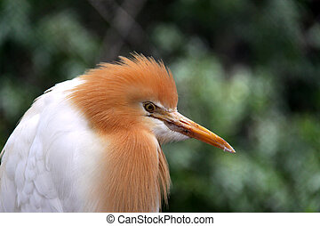 Eastern Cattle Egret in Breeding Season Plumage - ardea ibis...