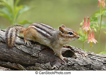 Eastern chipmunk (Tamias striatus) on a log next to a patch of Wild Columbine (Aquilegia canadensis) - Pinery Provincial Park, Ontario, Canada