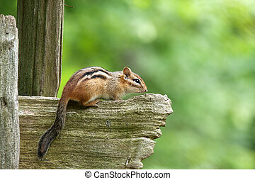 eastern chipmunk sitting on wooden fence with green forest background, side view