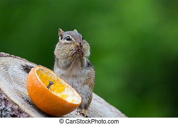 Eastern Chipmunk eating from an orange on a log.