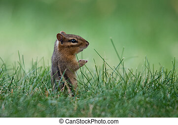 Eastern Chipmunk in the grass.