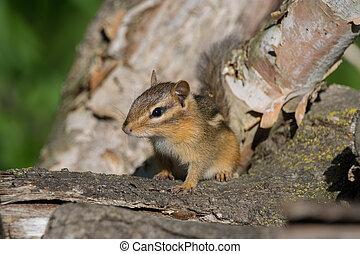 Eastern Chipmunk on some firewood logs in Wisconsin.