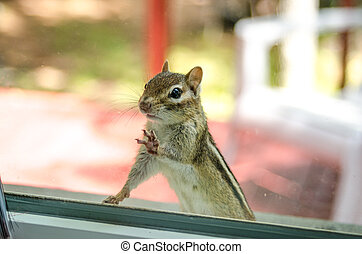 Eastern Chipmunk (Tamias), at the window having a peek inside my house.