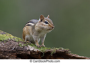 Eastern Chipmunk (Tamias striatus) - with its cheek pouches full of food sits on a mossy log