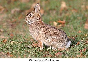 Eastern Cottontail Rabbit (Sylvilagus floridanus) in a grassy field