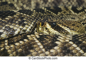Eastern Diamondback Rattlesnake (Crotalus adamanteus) native...