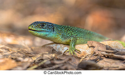 Eastern European Green Lizard