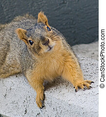 A curious squirrel cautiously looking at you.