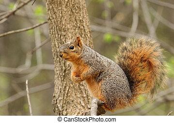 Eastern Fox Squirrel, Sciurus niger - Eastern fox squirrel,...