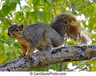 Eastern Fox Squirrel sitting on a tree