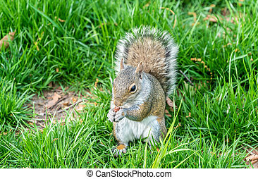 Eastern Gray Squirrel eating a peanut in New York City, USA